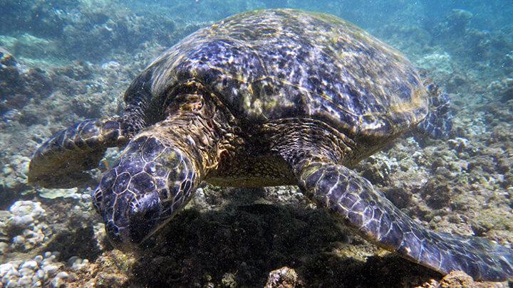 Princeville Hotel Beach Snorkeling On Kauai