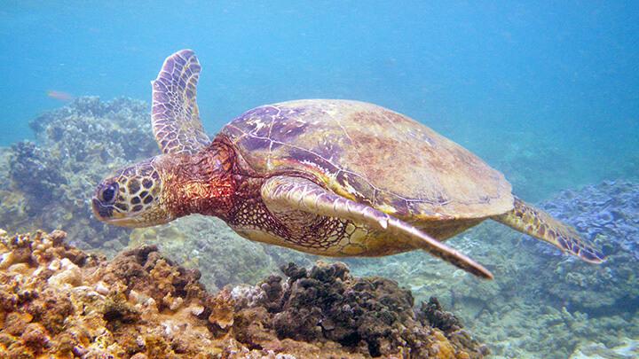 Sea Lodge Beach Snorkeling On Kauai