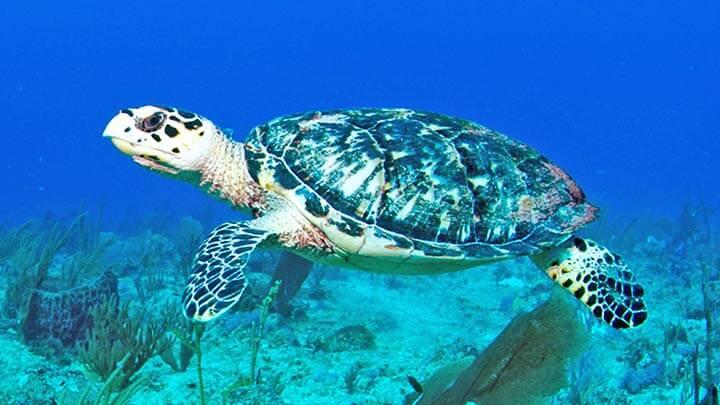 Turtle Reef Snorkeling on St Martin