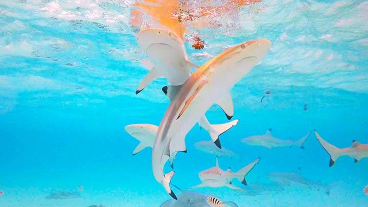 Snorkeling at Stingray World off Moorea