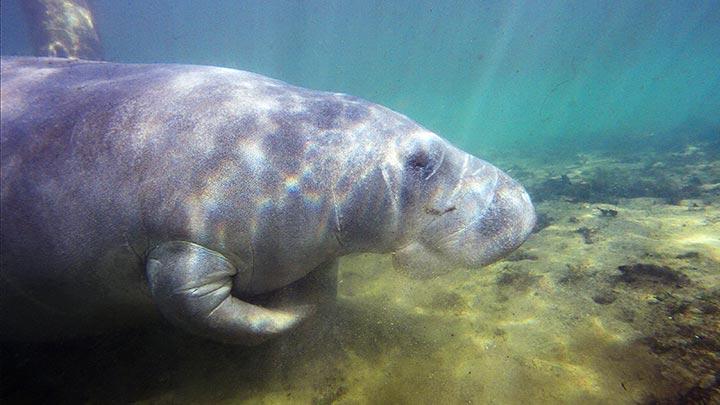 Homosassa River Snorkeling